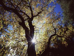 California, Cleveland NF, the Sun's Rays Through a Black Oak Tree by Christopher Talbot Frank