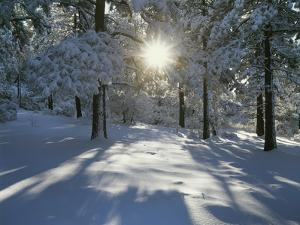California, Cleveland NF, the Sunbeams Through Snow Covered Pine Trees by Christopher Talbot Frank