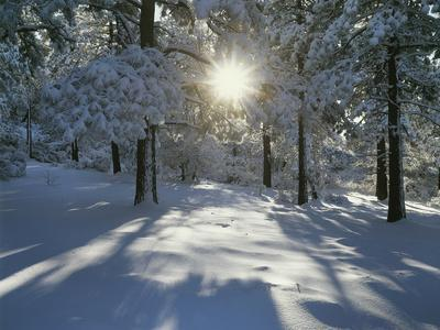 California, Cleveland NF, the Sunbeams Through Snow Covered Pine Trees