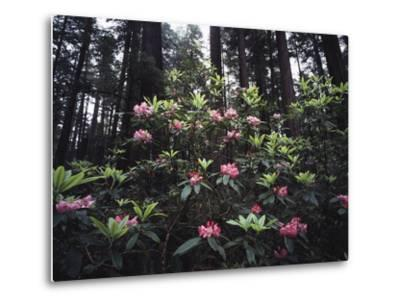 California, Del Norte Redwood Sp, Rhododendron in Coast Redwood Forest