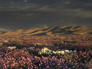 California, Dumont Dunes, a Rainbow Above Dunes and Wildflowers by Christopher Talbot Frank