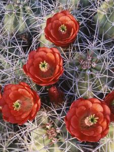 California, Joshua Tree National Park, Claret Cup Cactus Wildflowers by Christopher Talbot Frank