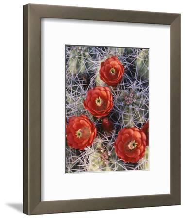 California, Joshua Tree National Park, Claret Cup Cactus Wildflowers