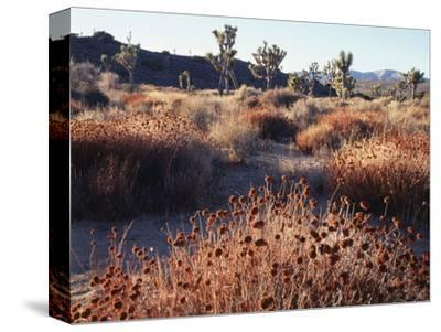 California, Joshua Tree National Park, Joshua Trees in the Mojave Desert