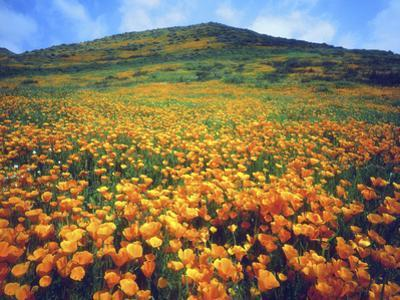 California Poppies, Lake Elsinore, California, USA by Christopher Talbot Frank