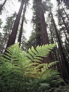 California, Redwood National Park, Ferns and Old Growth Redwoods by Christopher Talbot Frank