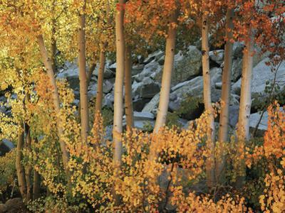 California, Sierra Nevada, Autumn Colors of Aspen Trees in Inyo NF by Christopher Talbot Frank