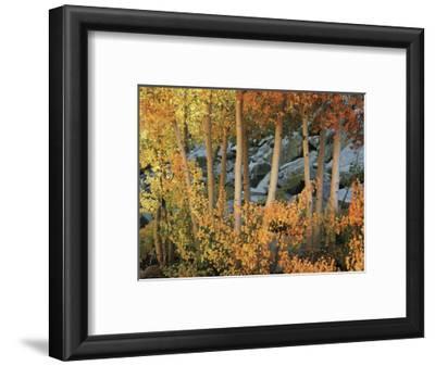 California, Sierra Nevada, Autumn Colors of Aspen Trees in Inyo NF