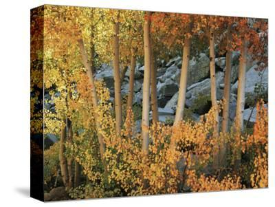 California, Sierra Nevada, Autumn Colors of Aspen Trees in Inyo NF