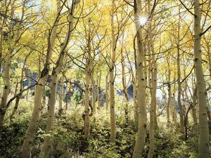 California, Sierra Nevada, Autumn Colors of Aspen Trees in the Forest by Christopher Talbot Frank