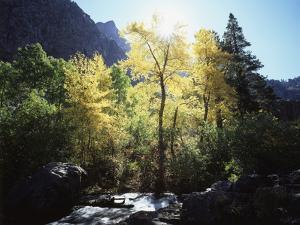 California, Sierra Nevada, Fall Colors of Cottonwood Trees on a Creek by Christopher Talbot Frank
