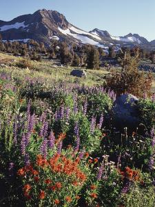 California, Sierra Nevada. Indian Paintbrush, Castilleja, and Lupine by Christopher Talbot Frank