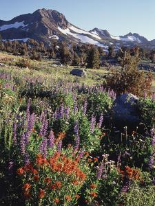 California, Sierra Nevada. Indian Paintbrush, Castilleja, and Lupine by Christopher Talbot Frank