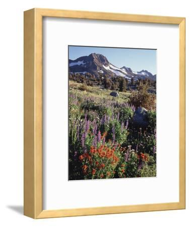 California, Sierra Nevada. Indian Paintbrush, Castilleja, and Lupine