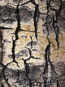 California, Sierra Nevada, Inyo Nf, Abstract of Aspen Tree Trunk by Christopher Talbot Frank