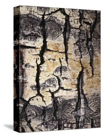 California, Sierra Nevada, Inyo Nf, Abstract of Aspen Tree Trunk