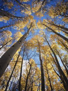 California, Sierra Nevada, Inyo Nf, Autumn Aspens in the High Sierra by Christopher Talbot Frank
