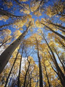 California, Sierra Nevada, Inyo Nf, Autumn Aspens in the High Sierra by Christopher Talbot Frank
