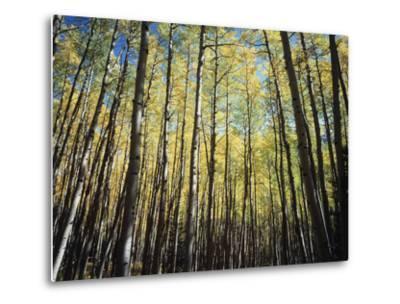 California, Sierra Nevada, Inyo Nf, Autumn Colors of Aspen Trees