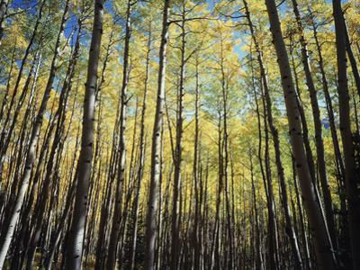 California, Sierra Nevada, Inyo Nf, Autumn Colors of Aspen Trees by Christopher Talbot Frank