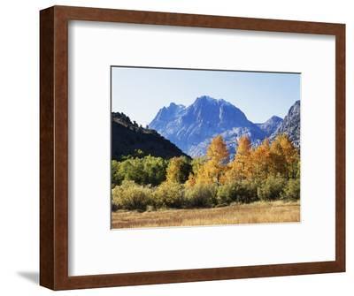California, Sierra Nevada, Inyo Nf, Fall Colors of Aspen Trees