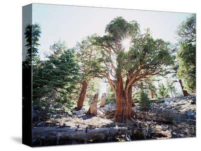 California, Sierra Nevada, Inyo Nf, Old Growth Juniper Tree, Juniperus