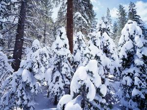 California, Sierra Nevada, Inyo Nf, Snow Covered Red Fir Tree Forest by Christopher Talbot Frank