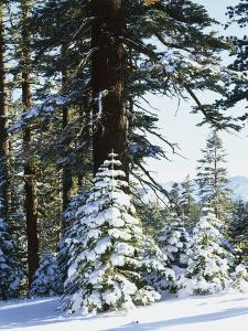 California, Sierra Nevada, Inyo Nf, Snow Covered Red Fir Trees Trees by Christopher Talbot Frank