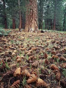 California, Sierra Nevada, Ponderosa Pine Tree and Pine Cones by Christopher Talbot Frank