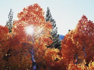 California, Sierra Nevada, Sunset Through Red Color Aspens in Inyo Nf by Christopher Talbot Frank