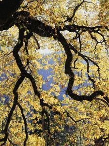 California, Sierra Nevada, Yosemite National Park, Backlit California Black Oaks by Christopher Talbot Frank