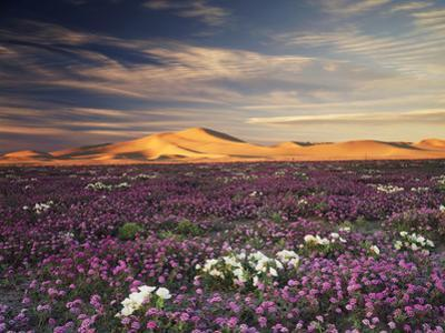 California, Wildflowers on the Dumont Dunes in the Mojave Desert by Christopher Talbot Frank