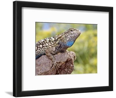 Close-up of Male Western Fence or Blue Belly Lizard, Lakeside, California, USA