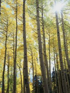 Colorado, San Juan Mts, Uncompahgre Nf, Fall Colors of an Aspen Trees by Christopher Talbot Frank