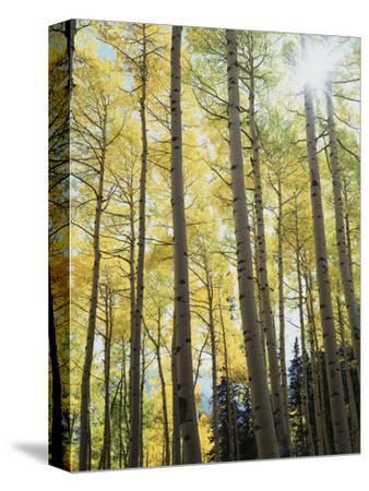 Colorado, San Juan Mts, Uncompahgre Nf, Fall Colors of an Aspen Trees