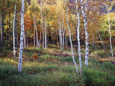 Maine, Acadia National Park, Autumn Colors of White Birch, Betula Papyrifera