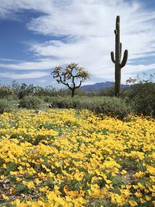 Organ Pipe Cactus Nm, Saguaro Cactus and Desert Wildflowers by Christopher Talbot Frank