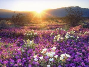 Sand Verbena and Dune Primrose Wildflowers at Sunset, Anza-Borrego Desert State Park, California by Christopher Talbot Frank