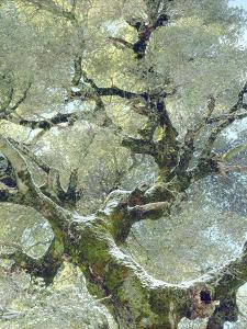 Snow and Moss on Live Oak Tree in Cuyamama Rancho State Park, California, USA by Christopher Talbot Frank