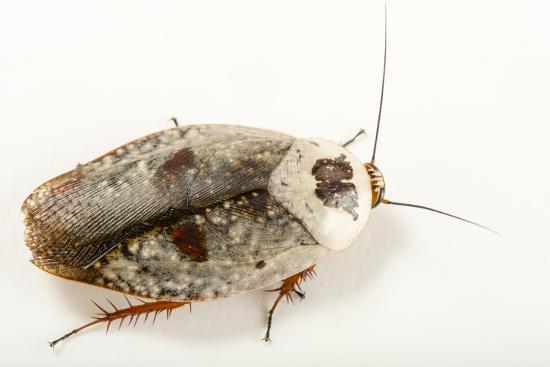 Chrome roach, Gyna caffrorum, at the Budapest Zoo.-Joel Sartore-Photographic Print