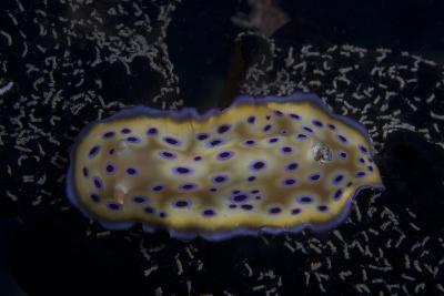 Chromodoris Kuniei Nudibranch, Beqa Lagoon, Fiji-Stocktrek Images-Photographic Print