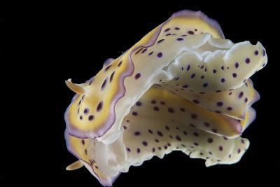 Chromodoris Kuniei Nudibranch, Beqa Lagoon, Fiji-Stocktrek Images-Photographic Print