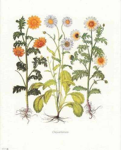 Chrysantemum--Art Print