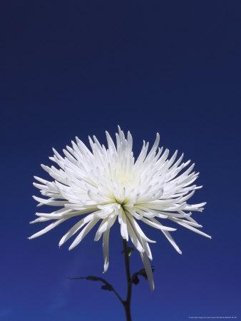 https://imgc.artprintimages.com/img/print/chrysanthemum-and-blue-sky_u-l-q10r3ou0.jpg?p=0
