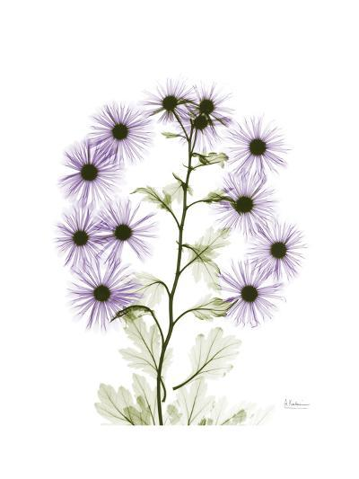 Chrysanthemum Family-Albert Koetsier-Premium Giclee Print