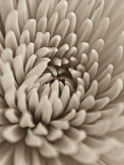 Chrysanthemum Flower-Assaf Frank-Giclee Print