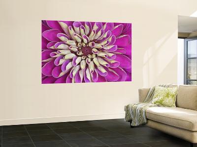Chrysanthemum Flower-Adam Jones-Wall Mural