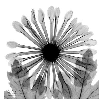 https://imgc.artprintimages.com/img/print/chrysanthemum-in-black-and-white_u-l-f547y50.jpg?p=0