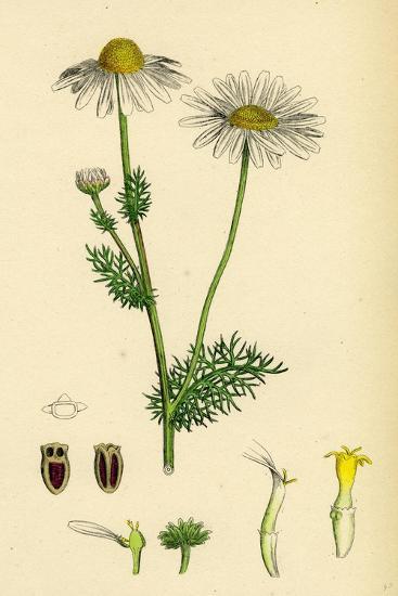 Chrysanthemum Inodorum Var. Genuinum Scentless Mayweed Var. A--Giclee Print