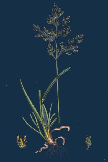 Chrysanthemum Inodorum, Var. Maritimum; Scentless Mayweed, Var. B--Giclee Print